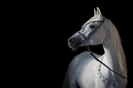 白色的马,黑色背景,白马5k图片