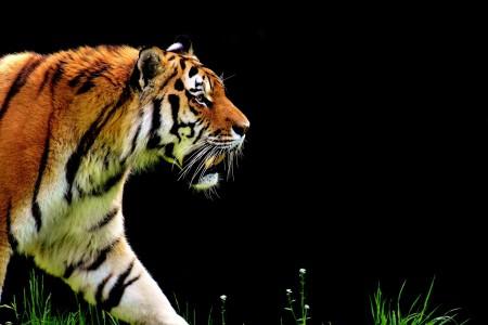 老虎6K图片