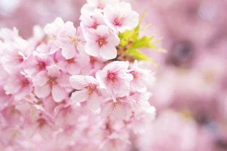 粉色樱花4k高清高端电脑桌面壁纸