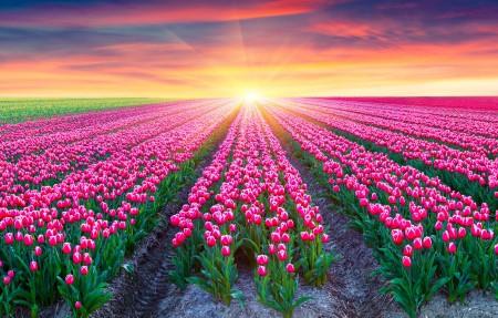 粉红色的郁金香,荷兰,朝阳,美丽自然风景4k高端电脑桌面壁纸