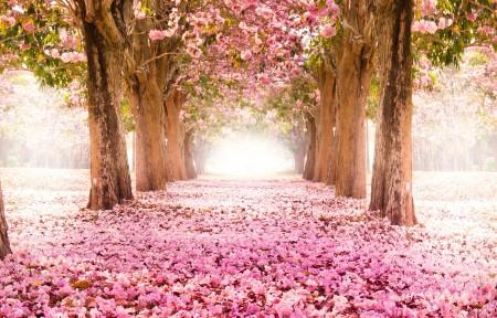 粉红色的樱花小道3440x1440风景高端电脑桌面壁纸