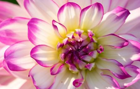 花朵鲜花 大丽花4K高清高端电脑桌面壁纸