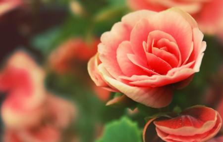 【4K】玫瑰,花瓣,玫瑰花蕾,3840x2160高端电脑桌面壁纸