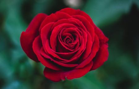 红玫瑰4K高清高端电脑桌面壁纸