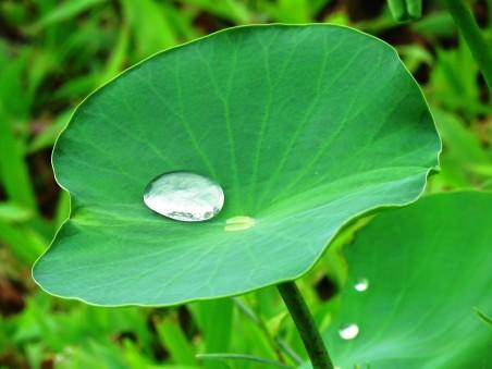 荷叶 一滴水 莲花 绿色叶 自然 4K高端电脑桌面壁纸