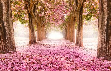 公园,路,走道,树,粉红色的樱花 4K风景图片