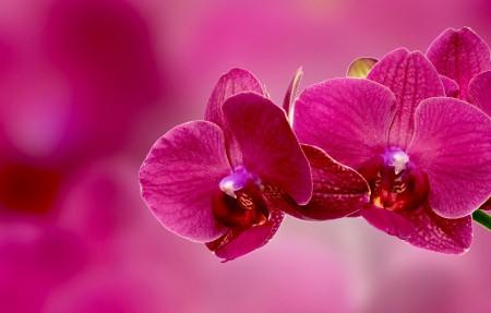 粉红色的兰花4K超高清壁纸精选