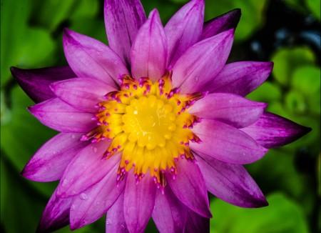 水百合 睡莲 紫色 花放大 开花 花园 4K高端电脑桌面壁纸