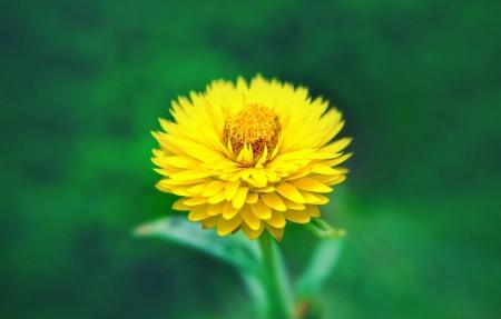 黄色的花朵 金鸡菊4K高端电脑桌面壁纸