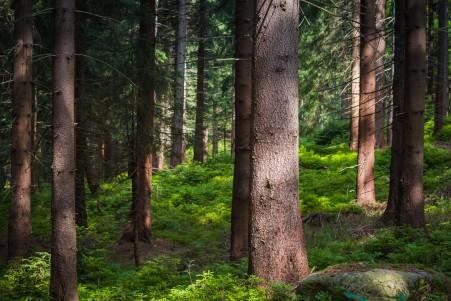 树 云杉 森林 常绿的树 山脉 自然风景5K高端电脑桌面壁纸