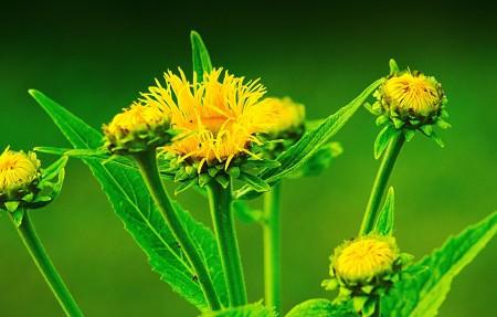 黄色鲜花 植物 4K超高清壁纸精选