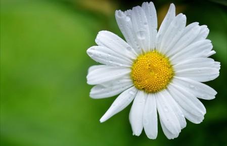春天 白色雏菊 鲜花 4K高端电脑桌面壁纸