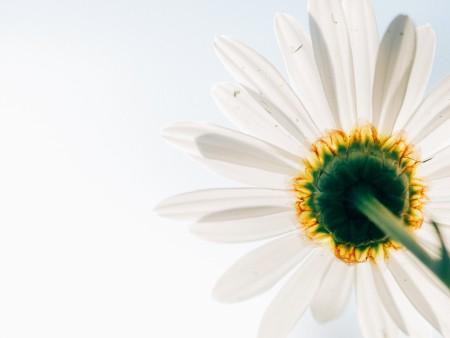白色雏菊花 花瓣 自然 春天 4K高端电脑桌面壁纸