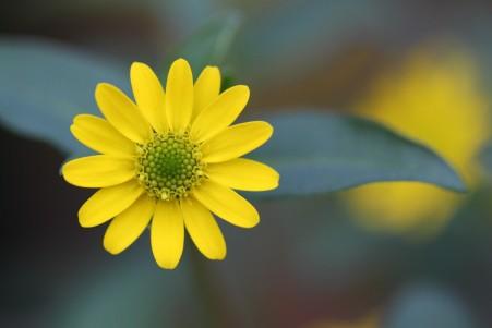 美丽的黄色雏菊花4K高端电脑桌面壁纸