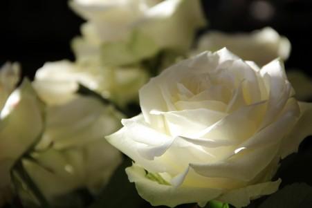 白玫瑰5K高端电脑桌面壁纸