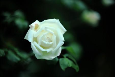 白玫瑰花4K高端电脑桌面壁纸