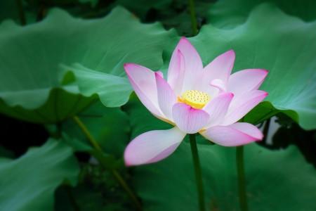 荷花 夏季 莲花 植物 开花 清新 6K图片