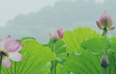 杭州西湖荷花美景4K风景图片