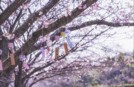 风铃樱花4k风景图片