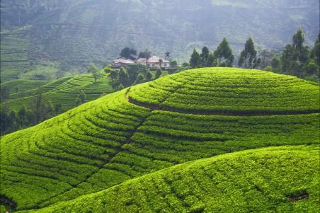 种植场 山峦 茶叶 4K风景图片