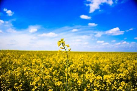 蓝天下的油菜花田5K风景图片