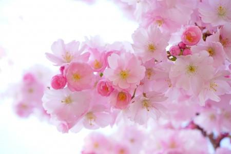 日本樱花树, 鲜花, 春天 樱花6k高清图片