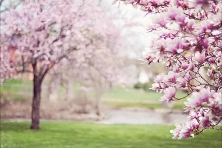 桃粉色的玉兰树4k风景超高清壁纸精选