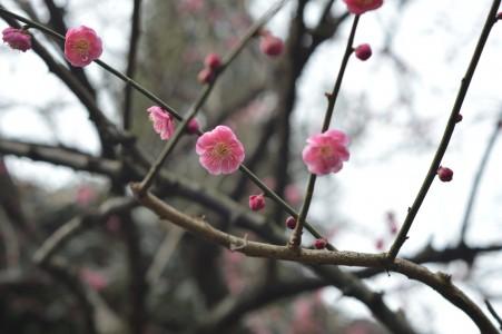 杭州西湖梅花风景6K图片