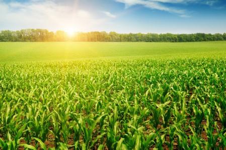 自然 树木 太阳 种植园 玉米地 4K风景高端电脑桌面壁纸