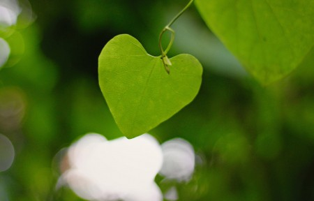 心形叶,爱心叶,护眼绿叶4K背景图片