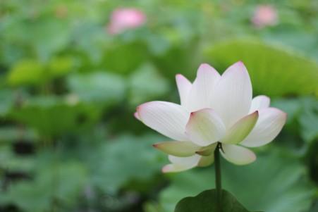 荷花 莲花 意境 植物 5K图片