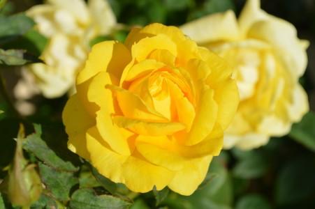 黄玫瑰6k图片