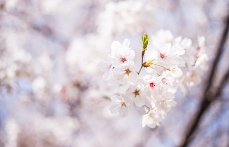 樱花时节4k高清图片