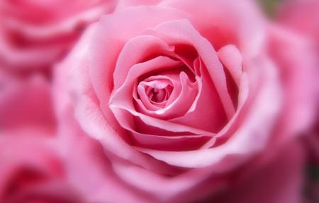 粉红色的玫瑰花4k高清图片