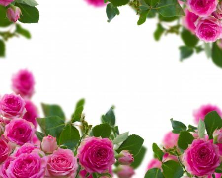粉红色玫瑰花高清背景图片