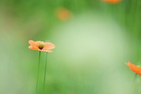 橙色罂粟花图片