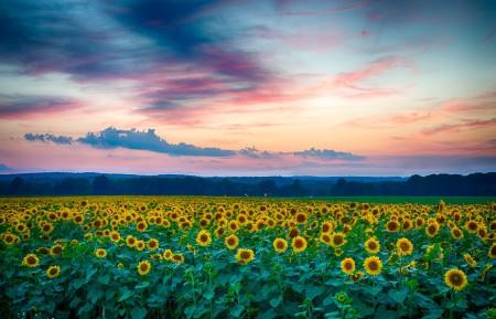 向日葵,花场,傍晚,夕阳,云,自然风景图片