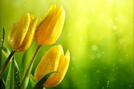 黄色郁金香4k高清图片