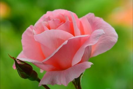 粉色玫瑰花4k高端电脑桌面壁纸图片