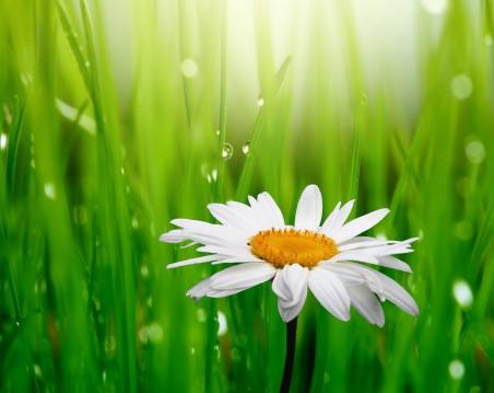 春天,白色甘菊花,绿色草,水珠,甘菊花图片