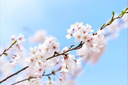 樱花4k图片