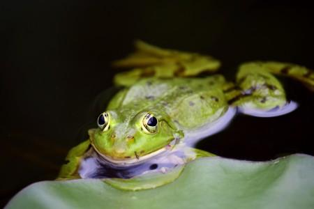 绿色的小青蛙 池塘 6k图片