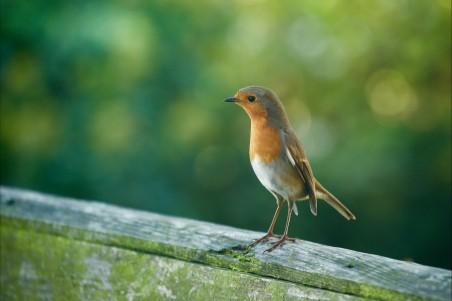 自然 鸟儿 绿色背景4k动物高端电脑桌面壁纸