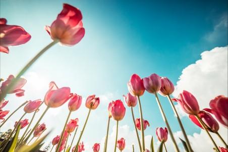 粉色郁金香 蓝色天空风景4k高端电脑桌面壁纸