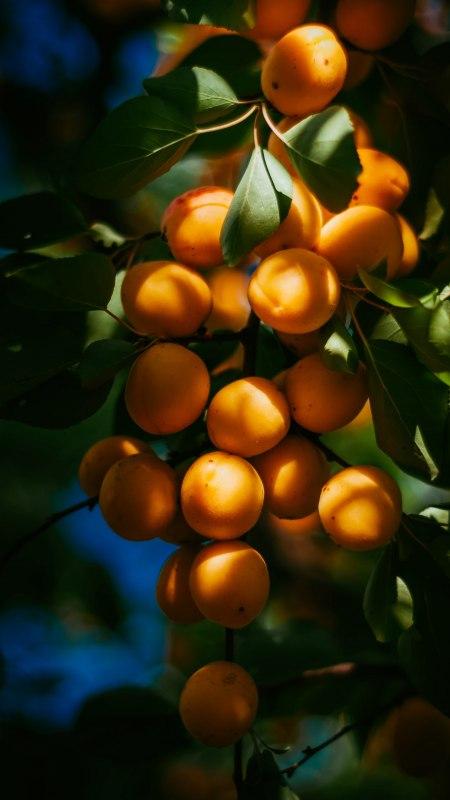 枝头的杏子极品游戏桌面精选4K手机壁纸