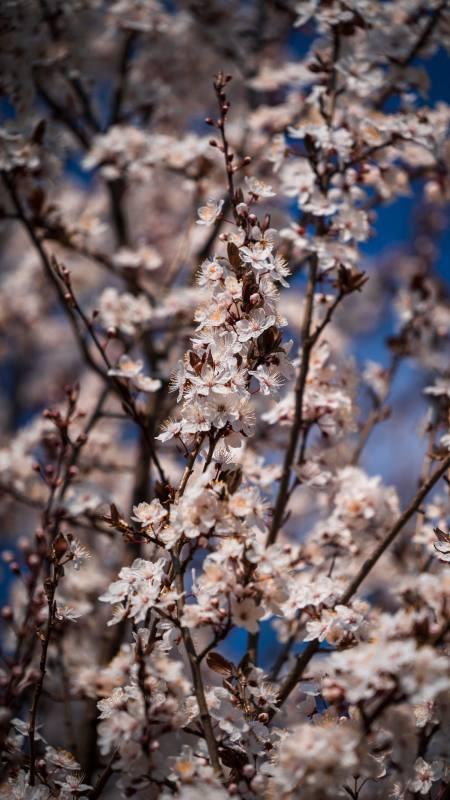 春天的樱花极品游戏桌面精选4K手机壁纸