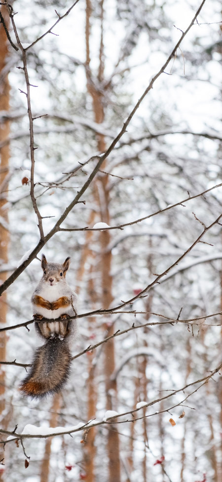 树枝上可爱的小松鼠4K高清手机壁纸推荐