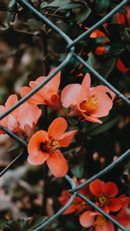 铁丝网内的粉红色花朵极品游戏桌面精选4K手机壁纸