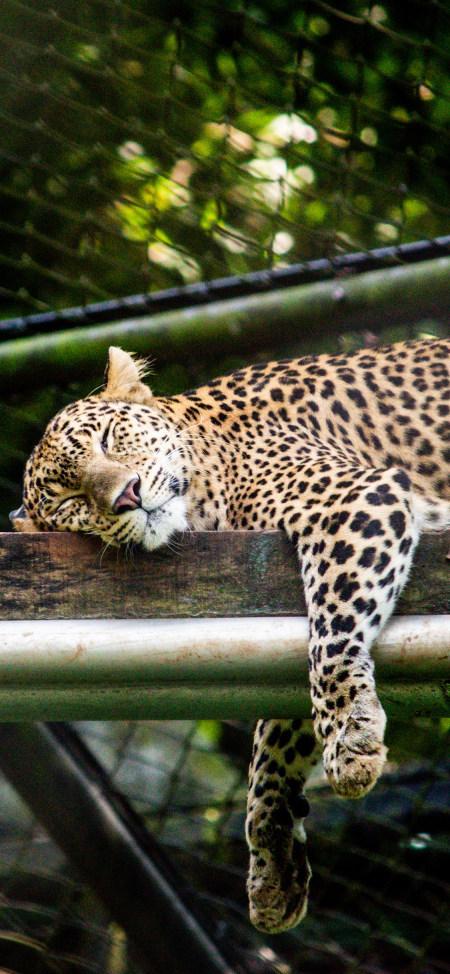 树干上睡觉的豹子4K高清手机壁纸推荐
