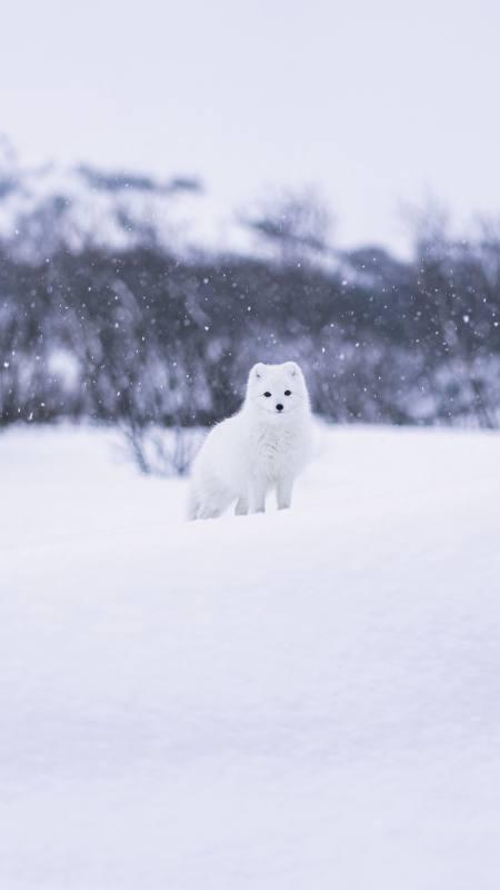 雪地里的小白狐极品游戏桌面精选4K手机壁纸